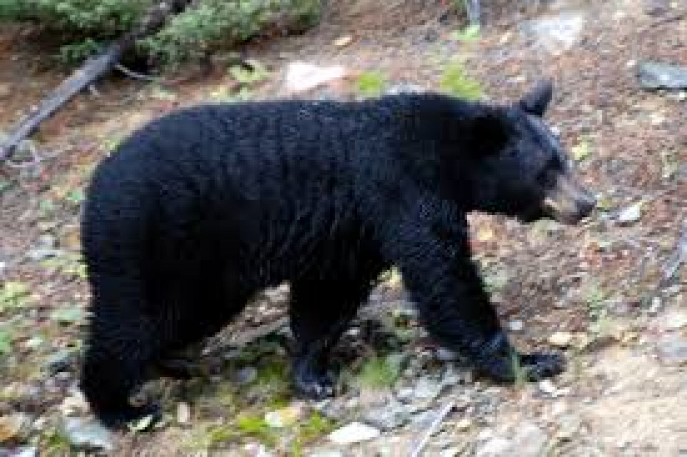 HSUS To Go After Maine Bear Hunting (Yet) Again