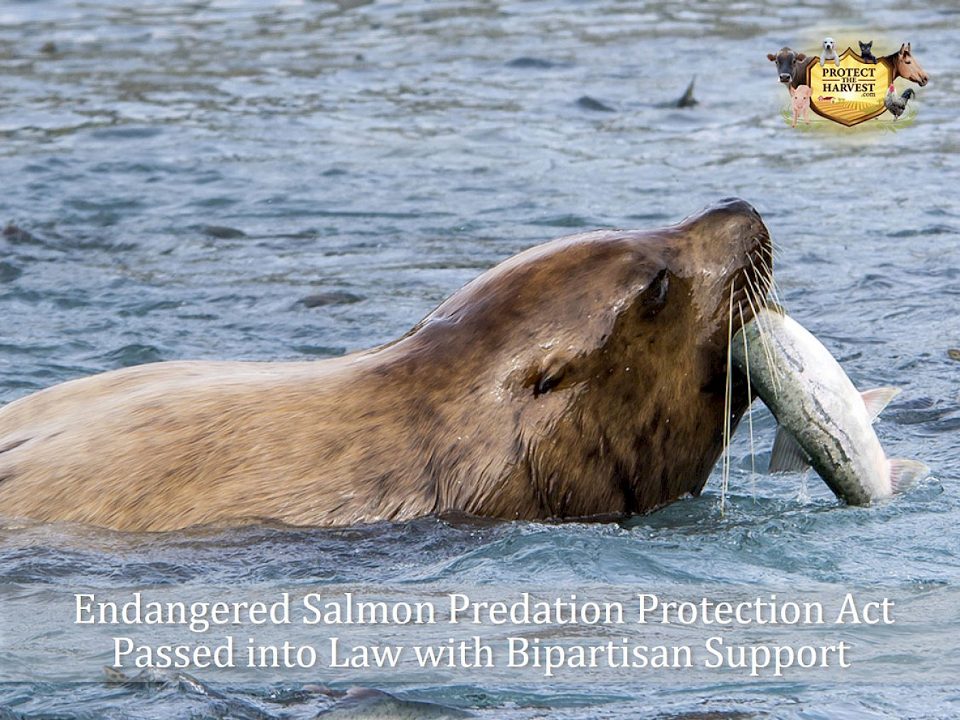 Endangered Salmon Predation Protection Act Passed Into Law With Bipartisan Support