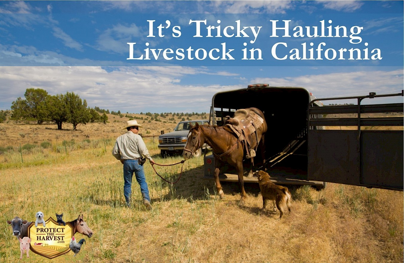 It's Tricky Hauling Livestock in California