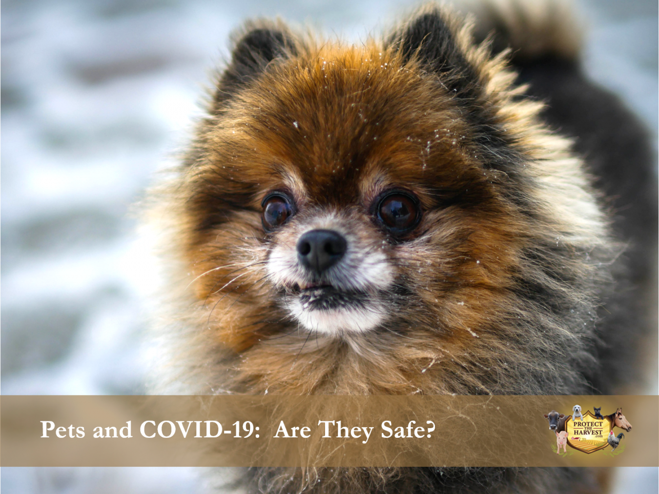 Pets and COVID-19: Are They Safe?