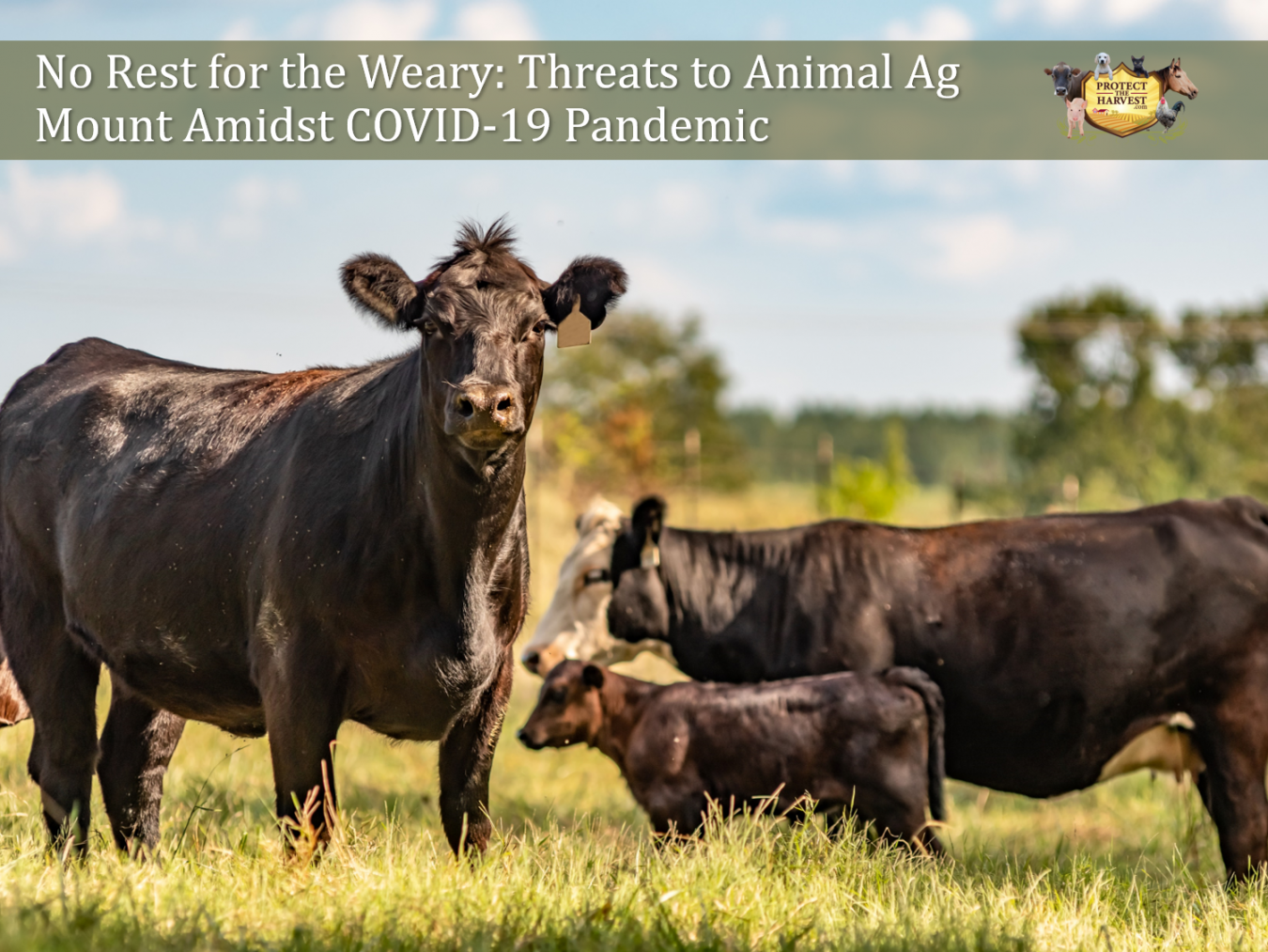 No Rest for the Weary: Threats to Animal Agriculture Mount Amidst COVID-19 Pandemic